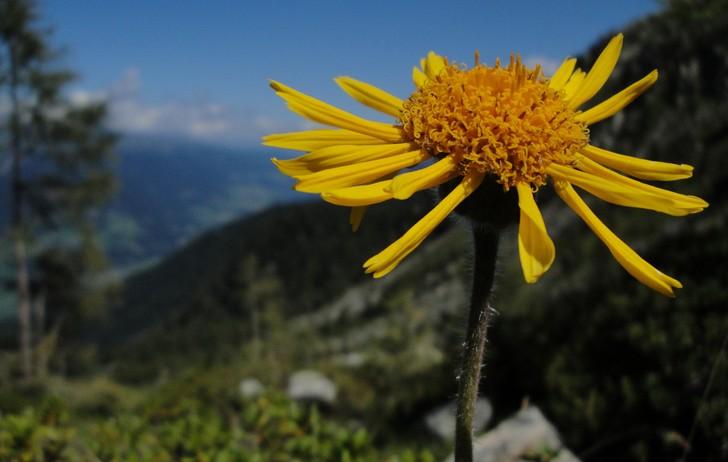 """Arnica montana: proprietà dell'""""erba delle cadute"""""""