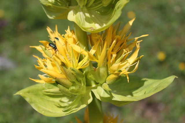 GENZIANA MAGGIORE (Gentiana Lutea)