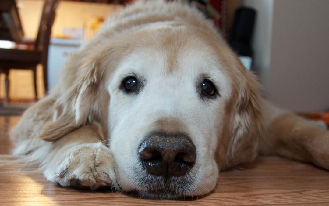 Osteoartrite nel cane: come riconoscerla e curarla!