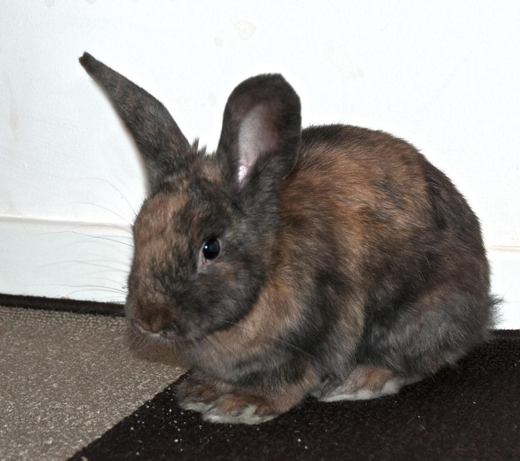 adottare coniglio