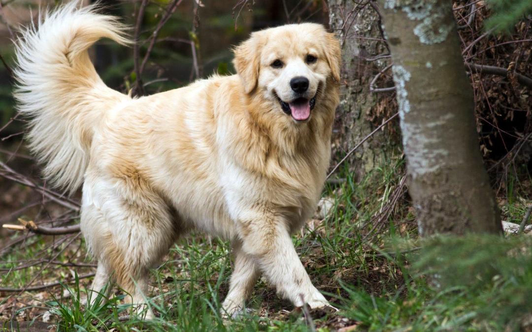 La filariosi cardio-polmonare del cane: come proteggere il nostro miglior amico!