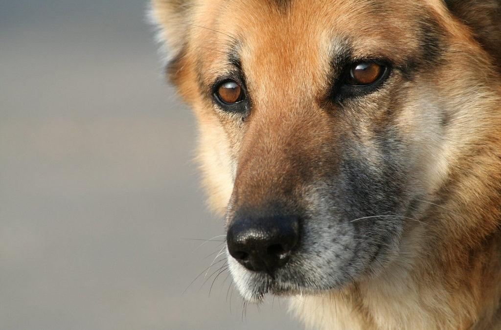 Torsione gastrica del cane, come riconoscerla e prevenirla.
