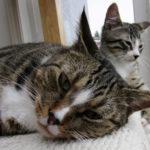Fiv e Felv nel gatto, cosa è importante sapere di queste due importanti malattie.