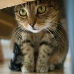 Gatto, cistite e calcoli: scopriamo insieme la FLUTD (Feline Lower Urinary Tract Disease)