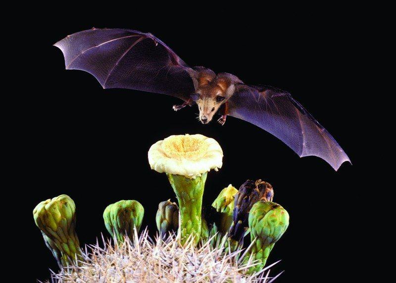 I pipistrelli: mediatori naturali per il controllo degli insetti