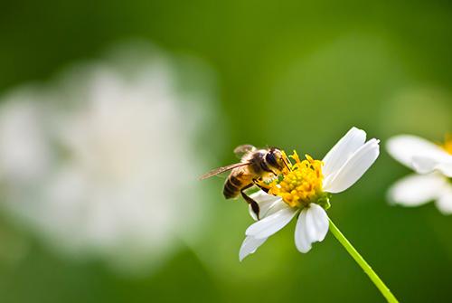 Le api: il loro fondamentale contributo per il funzionamento degli ecosistemi