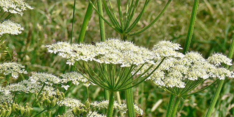 Panace di Mentegazza, la pianta velenosa che causa ustioni
