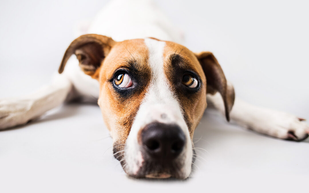 Vulva, vagina e pene: le patologie degli organi genitali esterni dei cani